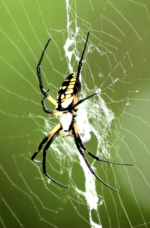 Orb+Weaver+in+it%27s+web